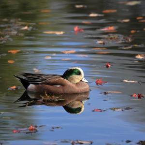 深まる秋 アメリカヒドリ