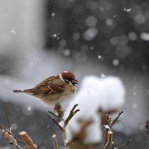 雪の日 スズメ