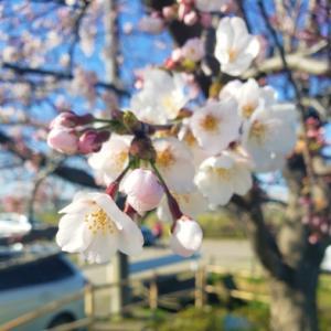 桜はじめてひらく