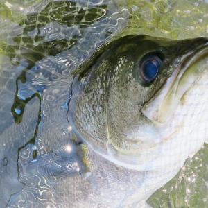 シーバス釣るなら初夏がオススメ!季節の特徴と釣果アップのコツ!!