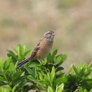野鳥(1437)-ホオジロ、懐かしく
