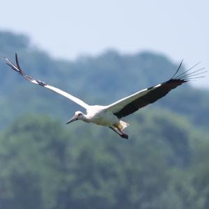 野鳥(1618)-コウノトリ「歌」、飛ぶ姿