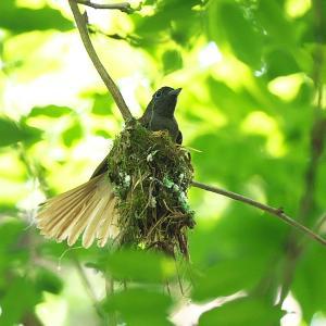 野鳥(1520)-サンコウチョウ、巣造り