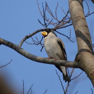 野鳥(1582)ーイカル、ようやくの出会い