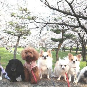 お花見散歩~大阪城~...♪*゚