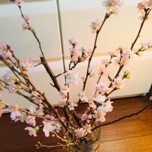 節分に購入した桜のその後! いろいろ〜