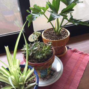自分の部屋に観葉植物を置いてみた!やっぱりコバエが飛んでるぅ、、、