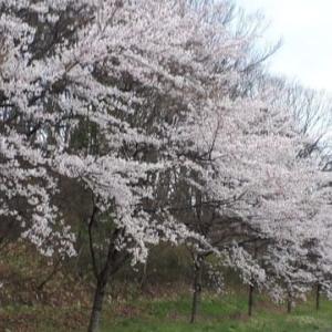 1500; さくらの花は 日本人のこころ