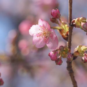 早咲き桜*2019*55日め