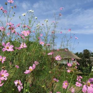 昭和記念公園(こもれびの里のコスモスとそばの花)