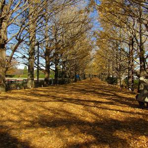 昭和記念公園 イチョウ並木の黄葉