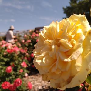 バラを見にいきました