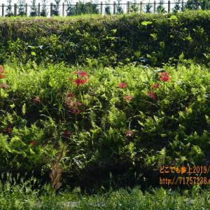 夏の終わりの滑川「行田公園」、菖蒲の無い寂しい公園に、ヒガンバナの赤!