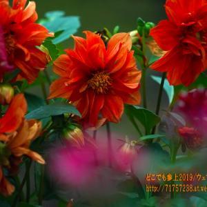 可憐な花が未だに見れる魚津の花園『花の森 天神山ガーデン』!台風19号が心配・・・。