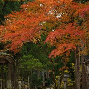 """雄山神社の""""!秋""""、紅葉もあったが、大杉の根にびっしりと生えた苔に風情を感じる・・。"""