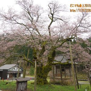 """明日の大桜が今年も魅せてくれる!宇奈月の""""法福寺""""境内"""