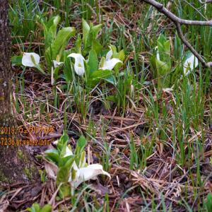 三峯(みつぼ)グリーンランドの「ミズバショウ」、何株かは咲いていた!