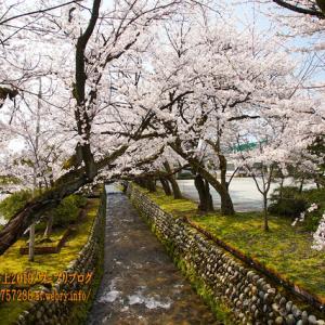 (株)スギノマシン本社横の川べりの桜、魚津市で一番に満開に!