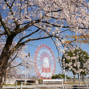 「みらパーク」の桜2020が満開に!桜のページェントは中止!