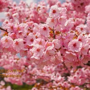魚津のモモの花が満開だった!もちろん桃山運動公園!!