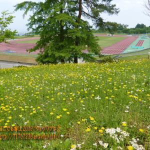 タンポポや野草の咲く丘、魚津市「桃山運動公園」