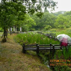 雨の行田公園、しっとり濡れた「花しょうぶ」と雨の似合う公園