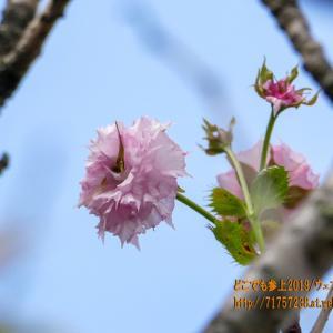 9月にサクラが開花しているとは、ここは滑川・・。異常気象が影響?アメリカシロヒトリか?