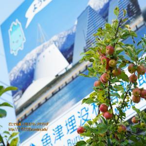 「リンゴ並木の見える街 魚津」のキャッチフレーズも要るよね!?