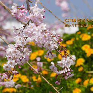 """滑川の""""桜""""2021、散歩にも撮影にも良い感じの3箇所を紹介!"""