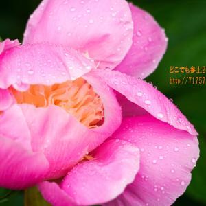 天神山ガーデン2021、雨の中の見学!芍薬・牡丹の花びらの雫