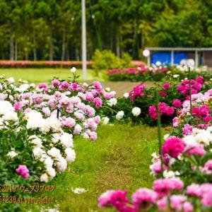 薬用植物指導センター寄ってみた!上市町広野に広大な「シャクヤク園」が!
