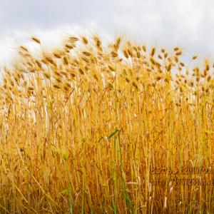 魚津の麦畑とその風景!高台にある広大な段々畑!!