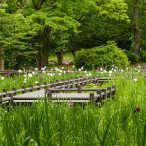 こんなはずじゃ・・・。行田公園の菖蒲の満開は・・?アジサイが咲く・・。