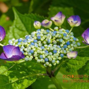 """マクロにはまる「アジサイ」の花!ミラパークの""""アジサイ園"""""""