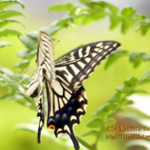 生地の清水(しょうず)の代表、「清水庵の清水」でアゲハチョウ!
