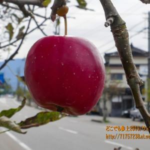 魚津と言えば真っ赤なリンゴ、まずは小さなアルプス乙女!