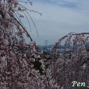花見山(鳴門)の枝垂れ桜が満開