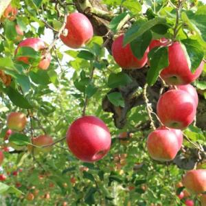 りんごの味
