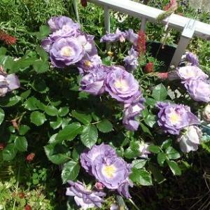 ブルーフォーユーのバラ