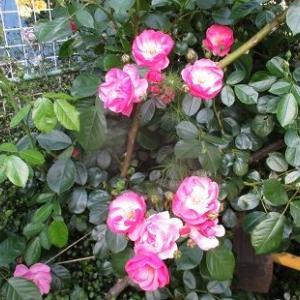 バラが旺盛