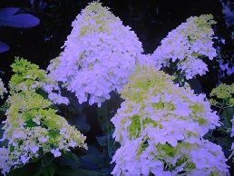 四季咲アジサイ 趣味の園芸