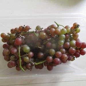 ブドウの収獲