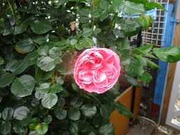 バラ開花続々