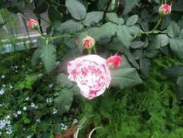 咲き出したバラたち