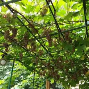 デラウエアのブドウ