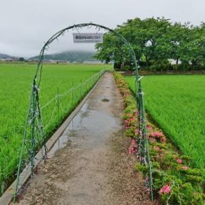 宮荘川の紫陽花 花! 滋賀県東近江市