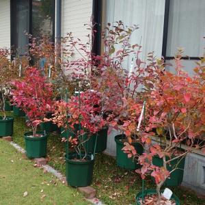 鉢植えブルーベリーの紅葉グラデーション in 広島市