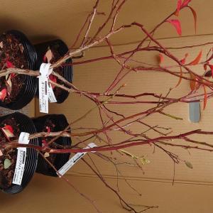 新規ブルーベリー苗入荷、鉢植え替え