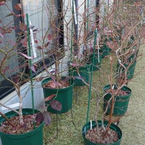 4年生鉢植えブルーベリーの剪定 in 広島市