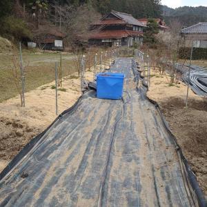 鉢植えブルーベリーの露地植え移植 in 周南市